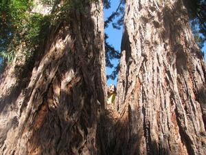One of the 1,420 redwood trees protected under our conservation easements!
